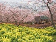 Kawazu Sakura med BrassicaRapa blommor royaltyfri foto