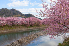 Kawazu-zakura cherry blossoms at Kawazu riverside Royalty Free Stock Photos
