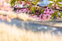 Kawazu zakura som blomstrar, i srping Royaltyfri Fotografi