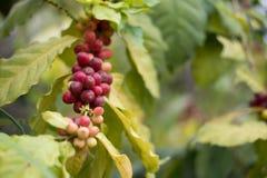 kawowa jagoda w gospodarstwie rolnym kawowa fasola przygotowywająca dla żniwa Zdjęcie Royalty Free