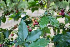 Kawowa owoc Zdjęcia Stock