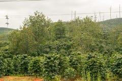 Kawowa plantacja i persimmon drzewa w Wietnam zdjęcie royalty free