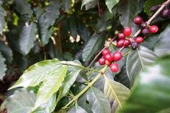 Kawowa plantacja w wiejskim miasteczku Carmo de Minas Brazylia Zdjęcia Stock