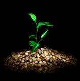 kawowa roślina Obraz Stock