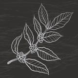Kawowa roślina z kawowym liściem Zdjęcia Royalty Free