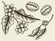 Kawowa rośliny gałąź z liściem ilustracja wektor