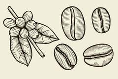 Kawowa rośliny gałąź z liściem Fotografia Stock