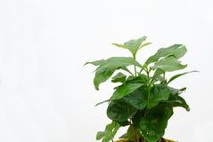 Kawowa roślina 03 Zdjęcie Royalty Free