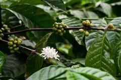 kawowa roślina Fotografia Royalty Free