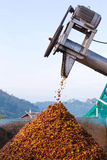 Kawowa wiśnia w procesie Zdjęcia Stock