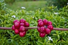 Kawowe fasole dojrzewa na drzewie Obraz Royalty Free