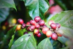 Kawowe fasole dojrzewa na drzewie w północy zdjęcie stock