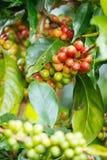 Kawowe fasole dojrzewa na drzewie w północy Thailand Zdjęcie Royalty Free