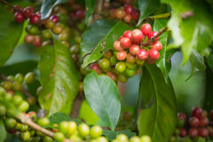 Kawowe fasole dojrzewa na drzewie w północy Thailand Zdjęcie Stock