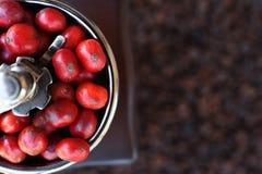 Kawowe fasole dojrzewa w kawowym ostrzarzu Obraz Royalty Free