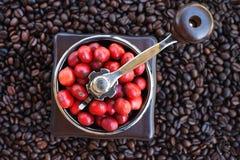 Kawowe fasole dojrzewa w kawowym ostrzarzu Zdjęcia Royalty Free
