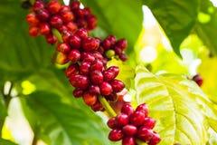 Kawowe fasole na drzewach Zdjęcie Royalty Free