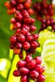 Kawowe fasole na drzewach Zdjęcie Stock