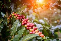 Kawowe fasole na drzewach Obraz Stock