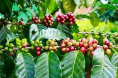 Kawowe fasole na drzewach w Tajlandia Obrazy Stock