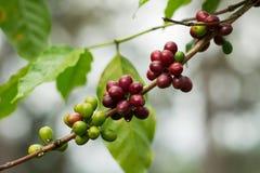 Kawowe fasole na gałąź Zdjęcia Stock