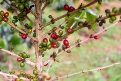 Kawowe fasole na kawowym drzewie Fotografia Royalty Free