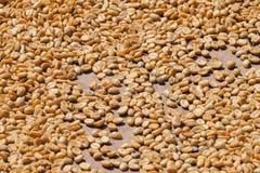 Kawowe fasole suszyć pod słońcem w Guadeloupe Zdjęcie Stock