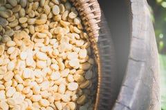 Kawowe fasole suszyć w słońcu przedtem Obrazy Royalty Free