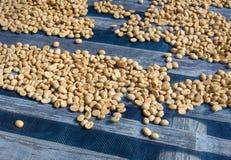 Kawowe fasole suszyć Zdjęcie Stock