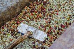 Kawowe jagody. Zdjęcie Stock