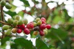 Kawowe jagody bobowe na kawowym drzewie zdjęcia royalty free