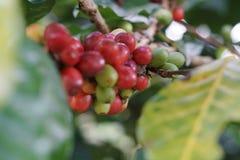 Kawowe jagody bobowe na kawowym drzewie zdjęcia stock
