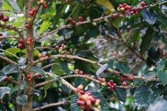 Kawowe jagody bobowe na kawowym drzewie fotografia royalty free
