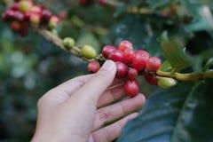 Kawowe jagody bobowe na kawowym drzewie z ręką zdjęcia stock