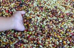 Kawowe jagody z ręką Fotografia Stock