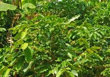 Kawowe rośliny Obrazy Stock