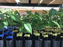Kawowe rośliien zaszczepki Zdjęcie Royalty Free