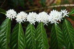 Kawowego drzewa okwitnięcie z białym koloru kwiatem Fotografia Stock