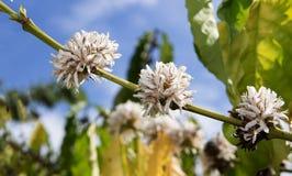 Kawowego okwitnięcia koloru biały kwiat kawowy drzewo Obrazy Stock