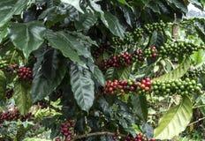 Kawowi drzewa Obraz Royalty Free