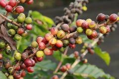 Kawowi drzewa Obrazy Royalty Free