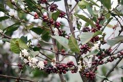 kawowy drzewo Fotografia Royalty Free