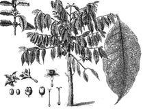 Kawowy drzewo ilustracji