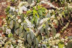 Kawowy drzewo, kawowy kwiat Zdjęcie Royalty Free