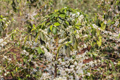 Kawowy drzewo, kawowy kwiat Zdjęcie Stock