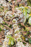 Kawowy drzewo, kawowy kwiat Obraz Stock