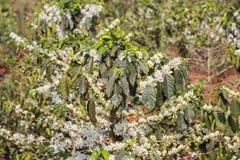 Kawowy drzewo, kawowy kwiat Obraz Royalty Free