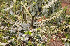 Kawowy drzewo, kawowy kwiat Obrazy Stock