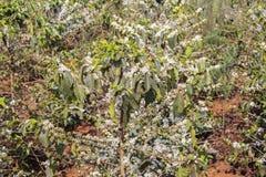 Kawowy drzewo, kawowy kwiat Zdjęcia Stock