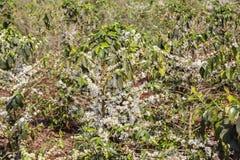 Kawowy drzewo, kawowy kwiat Obrazy Royalty Free